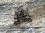 Papestra biren (Moorwald-Blättereule) / CH GR Val Müstair Fuldera Lü 1920 m, 14. 07. 2014