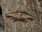 Menophra abruptaria (Lederbrauner Rindenspanner) CH BE Hasliberg 1050 m 09. 04. 2014