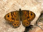 Lasiommata megera (Mauerfuchs, Weibchen) /Spanien, Region Valencia, Alcoy-Benasau 1080 m, 04. 05. 2012