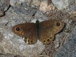 Lasiommata petropolitana (Braunscheckauge) / CH GR Alp Stabveder Motton 1982 m , 24. 06. 2015