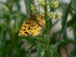 Pseudopanthera macularia (Fleckenspanner oder Pantherfalter) / CH BE Hasliberg 1500 m, 23. 05. 2014