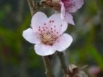 Prunus armeniaca (Aprikose) / Rosaceae