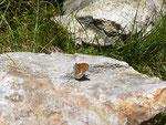 Coenonympha gardetta darwiniana / CH GR Alp di Stabveder zur Alp di Rossiglion 1948 m, 24. 06. 2015