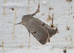 Chersotis margaritacea (Graue Labkrauteule) / CH VS Goppenstein Bahnhofunterführung 1216 m, 08. 09. 2008
