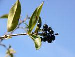 Ligustrum vulgare (Liguster) / Oleaceae