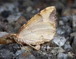 Eulithis populata (Veränderlicher Haarbüschelspanner) / CH TI Passo San Gottardo 2256  m, 13. 08. 2009