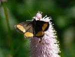 Psodos quadrifaria (Gelbgebänderter Flachstirnspanner) / CH OW Pilatusgebiet Balismatt 1438 m, 21. 06. 2014