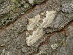 Xanthorhoe montanata (Schwarzbraunbinden-Blattspanner) / CH OW Glaubenberg Langis 1440 m, 11. 07. 2013