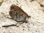 Erebia tyndarus (Schillernder Mohrenfalter, Weibchen, derselbe Falter wie vorher) / CH GR Surselva Sedrun-Valtgeva 1548 m, 17. 09. 2012