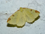 Opisthograptis luteolata (Gelbspanner) / CH BE Hasliberg 1050 m, 09. 07. 2012