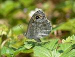 Lasiommata maera (Braunauge) / CH BE Hasliberg, 26. 06. 2015 (Zuchtfalter)
