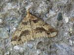 Erannis defoliaria (Grosser Frostspanner) / CH SZ Stoos 1300 m, 07. 11. 2013