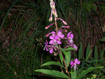 Epilobium angustifolium (Weidenröschen) / Onograceae