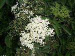 Sambucus nigra (Schwarzer Holunder) / Adoxaceae