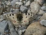 Parnassius phoebus (Hochalpen-Apollo, Weibchen) / CH GR Val Müstair 2220 m, 14. 07. 2014