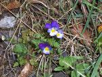 Viola tricolor (Feld-Stiefmütterchen) / Violaceae