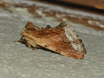 Ptilodon cucullina (Ahorn-Zahnspinner) / CH BE Hasliberg 1050 m, 17. 06. 2013
