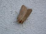 Mythimna albipuncta (Weisspunkt-Graseule) / CH BE Hasliberg 1050 m, 02. 06. 2014