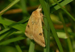 Heliothis peltigera (Bilsenkrauteule) / CH BE Hasliberg 1200 m, 15. 06. 2006