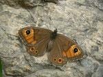 Lasiommata maera (Braunauge, Weibchen) / CH BE Hasliberg 1050 m, 20. 10. 2014