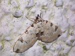 Colostygia pectinataria (Prachtgrüner Bindenspanner) / CH BE Hasliberg 1240 m, 22. 06. 2007