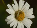 Eupithecia absinthiata (Kreuzkraut-Blütenspanner) / CH BE Hasliberg 1150 m, 10. 10. 2014