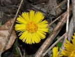 Tussilago farfara (Huflattich) / Asteraceae