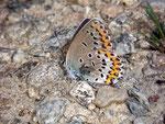 Plebejus argus (Geissklee-Bläuling, Weibchen) / CH TI Malcantone Vezio Alpe di Coransu 850 m, 22. 06. 2010