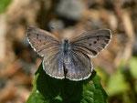 Maculinea arion (Schwarzgefleckter Bläuling,) / CH BE Hasliberg 1100 m, 28. 06. 2015