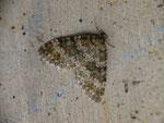 Entephria flavicinctata (Steinbrech-Gebirgs-Blattspanner) / CH UR Realp 1538 m, 02. 09. 2016