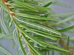 Pungeleria capreolaria (Brauner Nadelwaldspanner, gefundene Raupe) / CH BE Hasliberg 1050 m, 22. 06. 2013