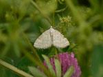 Perizoma albulata (Klappertopf-Kapselspanner) / CH BE Hasliberg 1300 m, 30. 05. 2016