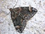 Chloroclysta citrata (Buschhalden-Blattspanner) / CH VS Binntal Binn 1490 m, 24. 08. 2009