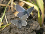 Cupido minimus (Zwergbläuling, Weibchen vorne, Männchen hinten) / CH FR Grandvillard -La Coudré 1329 m, 17. 06. 2013
