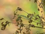 Eupithecia trisignaria (Dolden-Gewächs-Blütenspanner) / CH BE Hasliberg 1070 m, 25. 09. 2014 an Angelica sylvestris