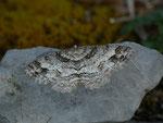 Paradarisa consonaria (Glattbindiger Rindenspanner) / CH BE Hasliberg 1150 m, 17. 04. 2014