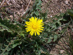 Taraxacum officinale (Löwenzahn) / Asteraceae