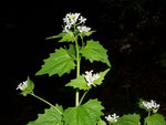 Alliaria petiolata (Knoblauchsrauke) / Brassicaceae