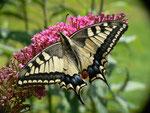 Papilio machaon (Schwalbenschwanz) / CH BE Hasliberg 1050 m, 04. 08. 2011