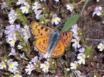 Lycaena alciphron gordius (Violetter Feuerfalter, Männchen) / CH VS Gspon 2060 m, 12. 08. 2009