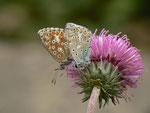Polyommatus bellargus (Himmelblauer Bläuling, Männchen und Weibchen) / CH BE Hasliberg 1150 m, 06. 10. 2013