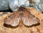 Ptilophora plumigera (Frost-Zahnspinner, Männchen) / CH BE HaslibergPtilophora plumigera (Frost-Zahnspinner) / CH BE Hasliberg 1240 m, 12. 11. 2012