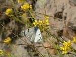 Euchloe grancanariensis / Spanien Kan. Inseln, Gran Canaria Cruz Verde zum Inagua966 m, 21. 01. 2014