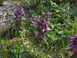 Lamium maculatum (Gefleckte Taubnessel) / Lamiaceae