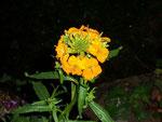 Cheiranthus (Erysium) cheiri (Goldlack) / Brassicaceae