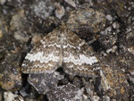 Perizoma affinitata (Dunkler Lichtnelken-Kapselspanner) / CH VS Nufenenpass Altstafel 1981 m, 06. 07. 2016