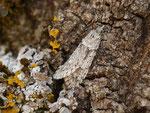 Diurnea fagella (Buchenmotte oder Sängerin, Männchen) / CH VS Erschmatt Ritini 1140 m, 23. 02. 2017