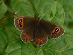 Erebia aethiops  (Graubindiger Mohrenfalter, Weibchen) / CH BE Hasliberg 1060 m, 04. 08. 2015