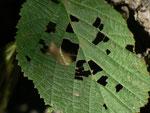 Asthena albulata (Ungepunkteter Zierspanner) / CH BE Hasliberg 1050 m,   10. 09. 2019