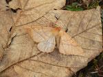 Colotois pennaria (Federspanner, Männchen) / CH BE Hasliberg 1100 m, 29. 10. 2014 (Totfund)